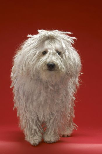 Full length of Hungarian sheepdog on red background