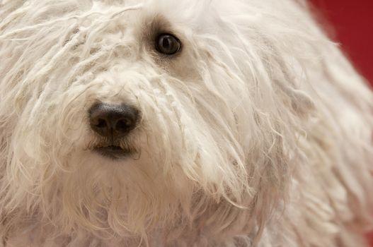 Closeup of cute Hungarian Komondor