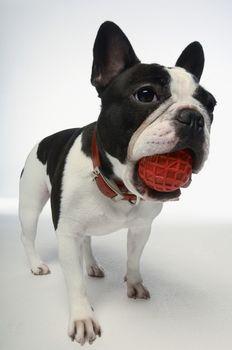 Full length of French bulldog holding ball on white background