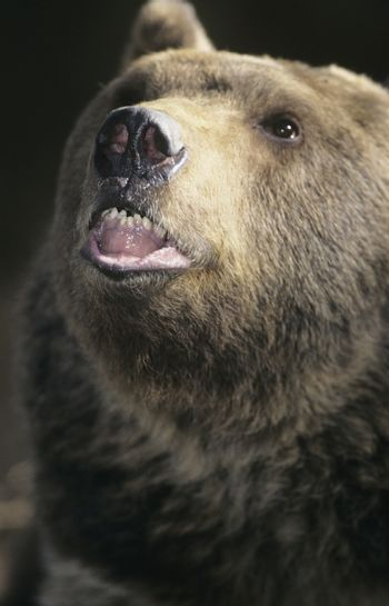 Grizzly bear roaring close-up