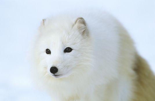 Arctic Fox in snow close-up