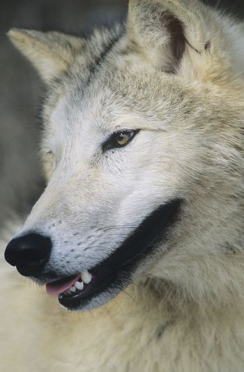 Wolf close-up of head