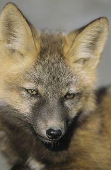 Fox close-up of head