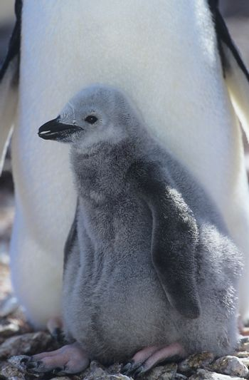 Penguin chick with mother close-up