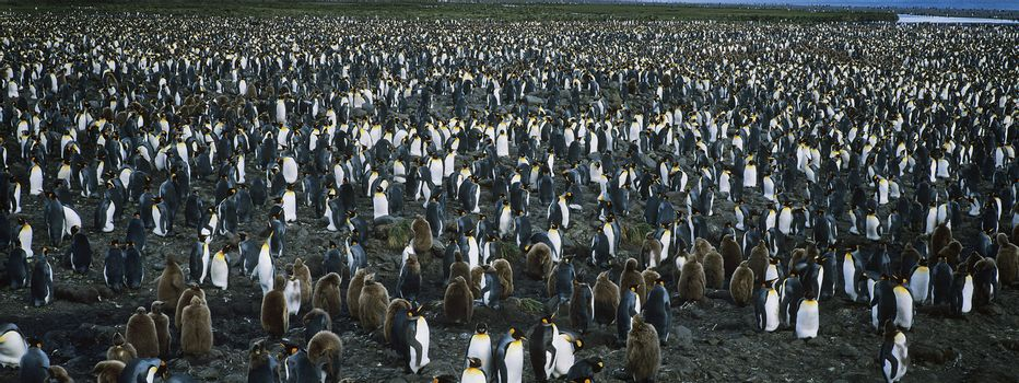 Large colony of Penguins