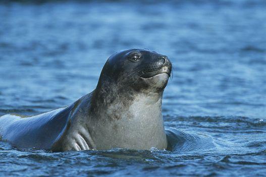 Seal lying in water