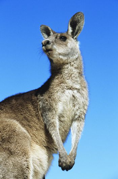 Kangaroo against blue sky