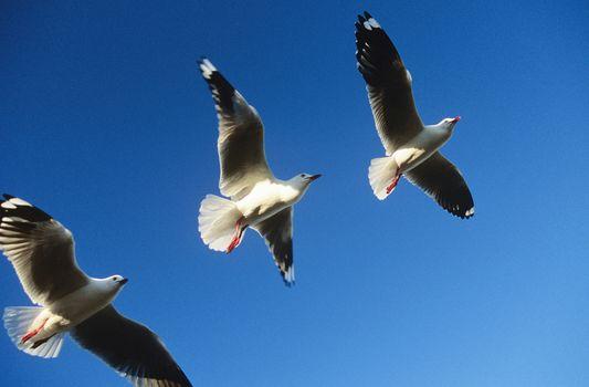 Three birds flying in a row