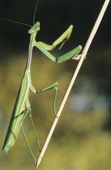 Praying Mantis climbing twig