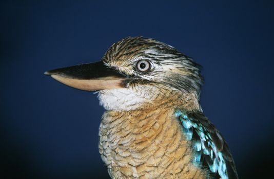 Australian Blue winged Kookaburra close-up