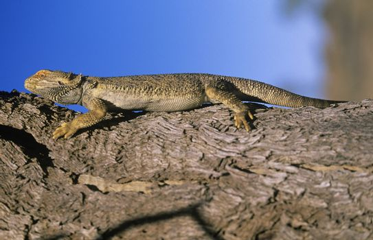 Water dragon on branch