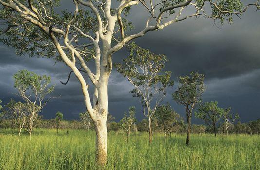 Australia Eucalyptus trees in field
