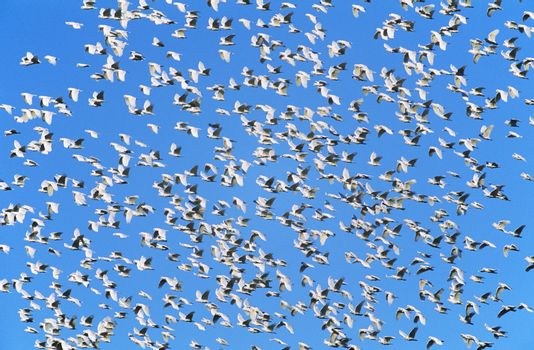 Flock of migrating birds