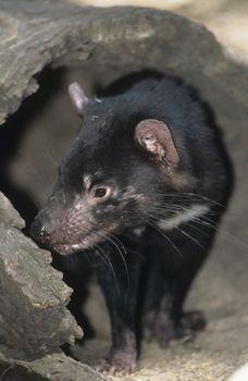 Tasmanian Devil in log