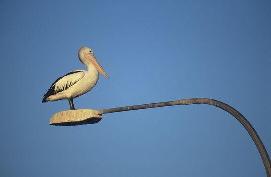 Australian Pelican perched on lamp post