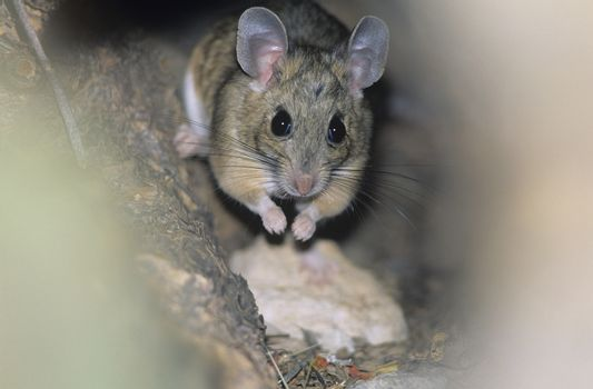 Mouse in woodland