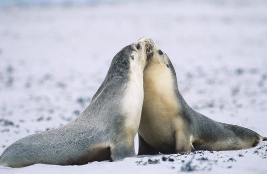 Two Fur seals bonding on beach