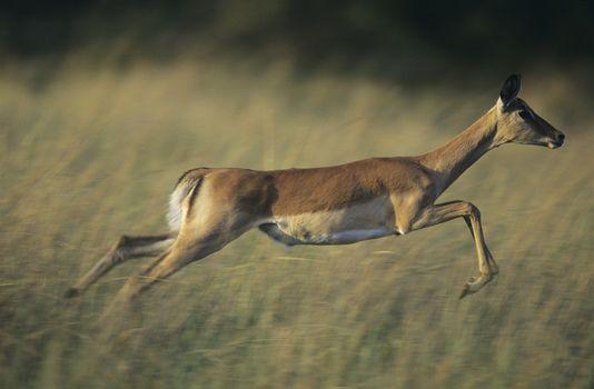 Deer galloping on savannah