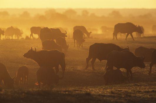 Cape Buffalo (Syncerus Caffer) grazing on savannah at sunset