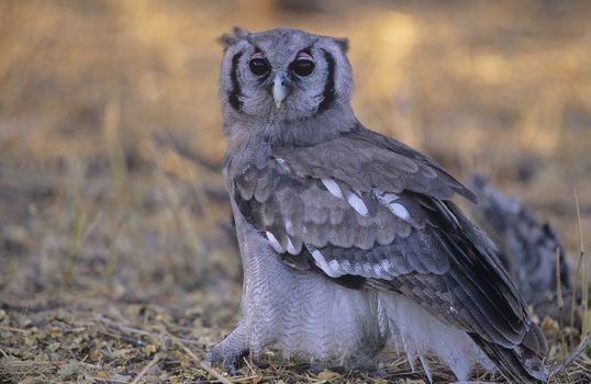 Grey owl on ground
