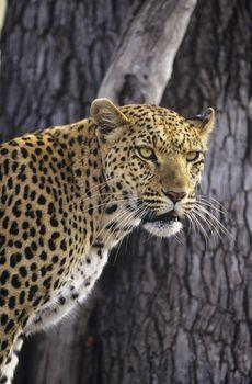 Leopard (Panthera Pardus) standing beside tree