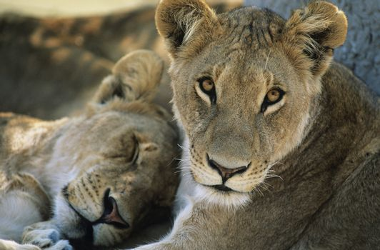 Two Lions resting close-up