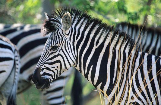 Plains Zebra (Equus Burchelli) close-up