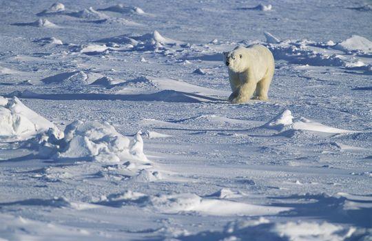 Polar Bear walking in snow Yukon
