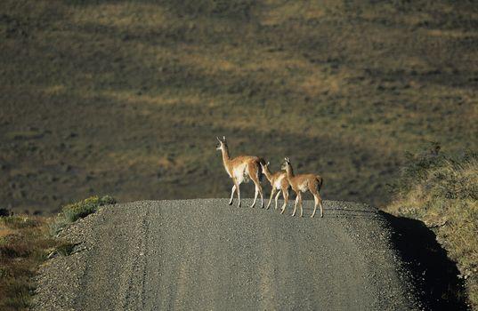 Llamas crossing rural road