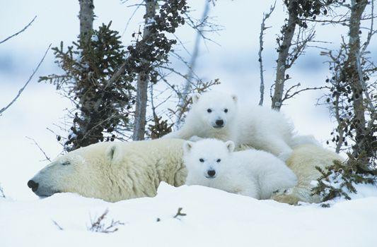 Polar Bear cubs with mother in snow Yukon