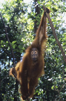 Orangutan hanging in trees