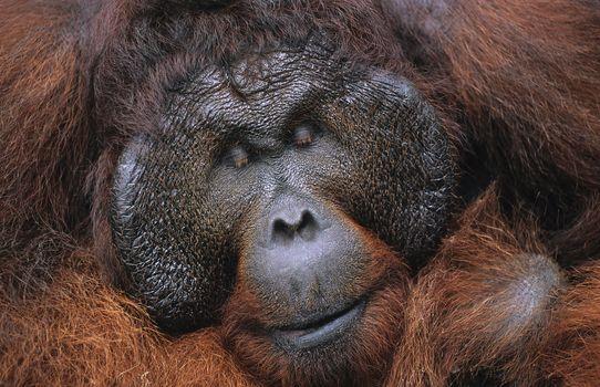 Male Orangutan resting close-up