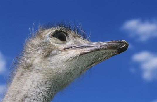 Ostrich head against blue sky low angle view