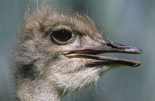 Ostrich close-up of head