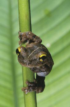 Tree frog on stem close-up