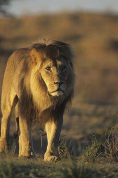 Male Lion walking on savannah