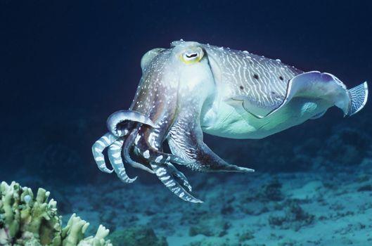 Cuttlefish swimming in ocean