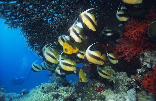 School of Angelfish on reef