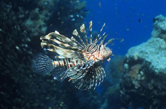 Lionfish swimming in ocean