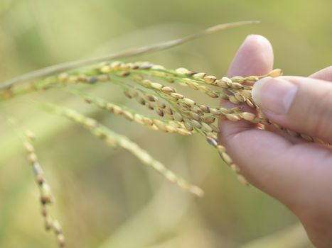 Extreme closeup of hand holding stalk of grains against blurred green background outdoors