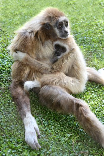 Gibbon Ape and Baby
