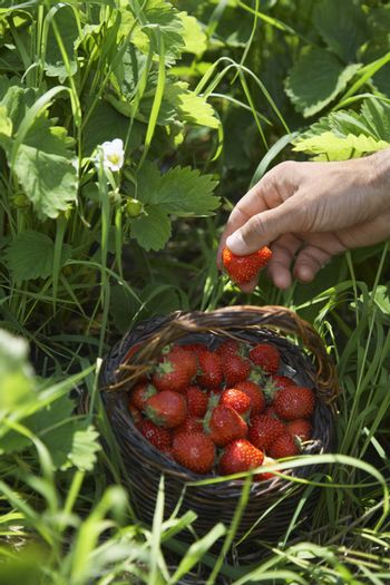 Closeup of a hand picking strawberries