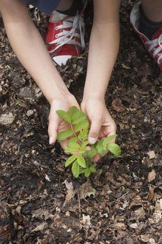 closeup of hands planting black locust tree seedling