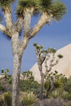 Joshua trees in desert