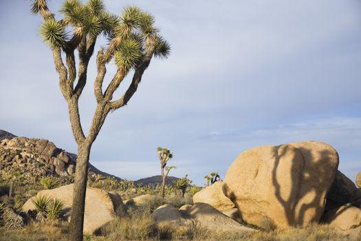 Joshua trees and rocks in desert