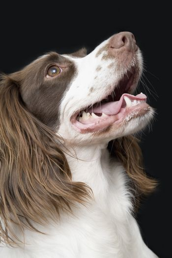 Closeup of English Springer Spaniel looking up against black background