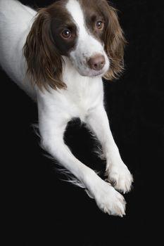 Closeup of English Springer Spaniel against black background