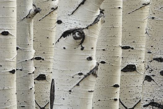 Birch trees in a row close-up of trunks