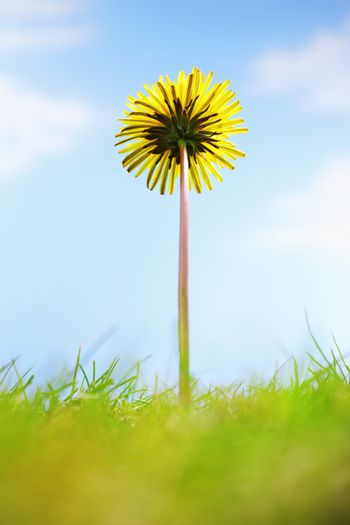 Single dandelion flower and grass close-up