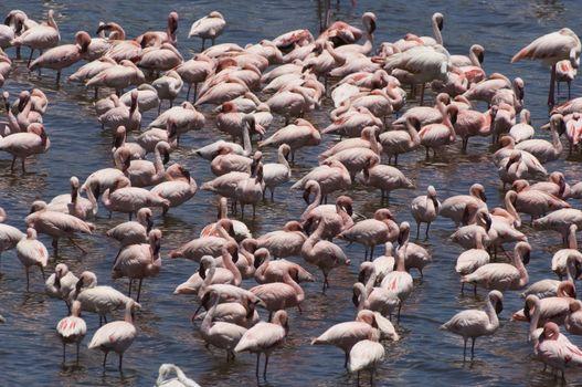 Flock of flamingos (genus, Phoenicopterus) in water elevated view
